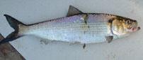 blueback herring (Alosa aestivalis)