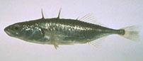 threespine stickleback (Gasterosteus aculeatus)
