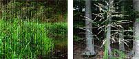 reed sweetgrass (Glyceria maxima)