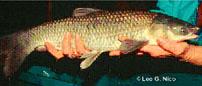 black carp (Mylopharyngodon piceus)